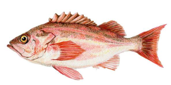 Figure 40 5 sebastes proriger redstriperockfish sketch for Step 2 rocking fish