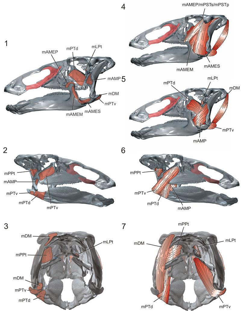 depressor mandibulae mlpt levator pterygoideus mppt protractor ...