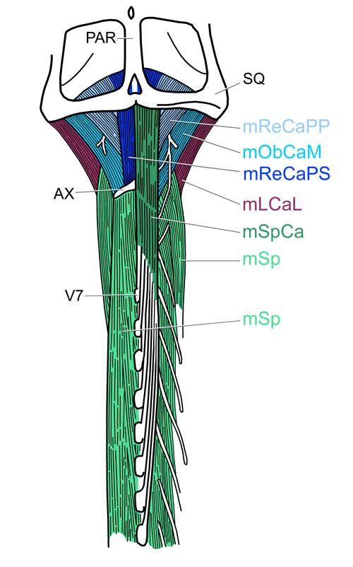Spinalis Capitis Origin Spinalis Capitis Mspca