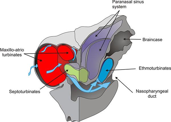 nasal congestion diagram nasal airflow diagram glyptodont nasal anatomy: figures #2