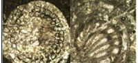 Middle to Late Permian Foraminifera