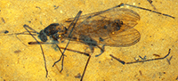 New World fossil Dixidae