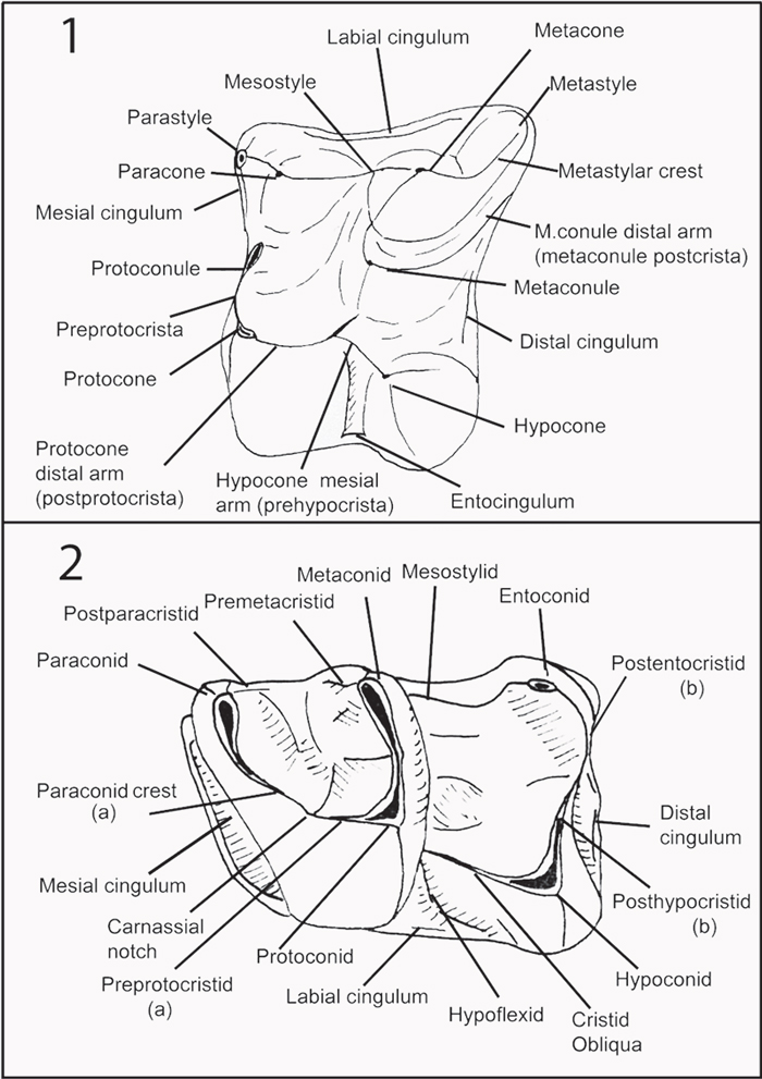 deinogalerix from scontrone figures Standing Figure Profile Diagram figure 4 1 left m1 f9 018 undetermined deinogalerix sp from fissure f9 oblique occluso distal view 2 same as 1 with sketch showing contact of the