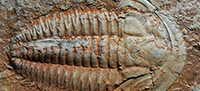 Trilobite moulting variability