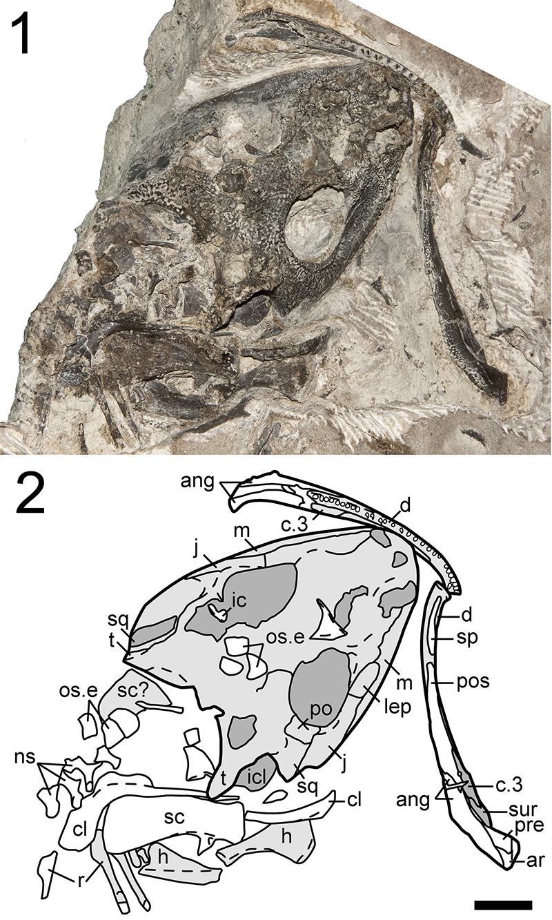 Richards Spur Dissorophids Figures